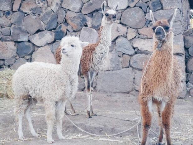 Alpacas y vicuñas en Perú
